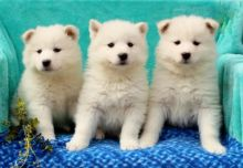 🎄🎅 🎅 Samoyed Puppies ☮ Ready ☮🎄Email at us ✔ ✔ [ leopaul365@gmail.com ]