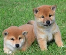 🎄☮ Shiba Inu Puppies ☮ Ready 🐕 Ckc☂️☂Email at us ✔ ✔ [ leopaul365@gmail.com ]
