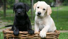 Labrador Retriever Puppies Available Text : 470-729-0284