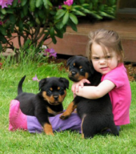 ☂️☂Energetic 🎅 Ckc 🎅 Rottweiler Puppies 🐕 Available For Adoption 🎄🎄 Image eClassifieds4U