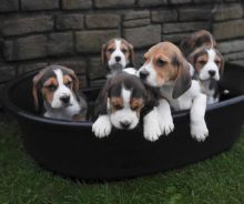 Beagle Puppies ( Boys & Girls ) Text : 470-499-4803