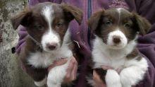 ╬╬ Registered ☮ Ckc ☮ Male ☮ Female ☮ Border Collie ☮ Puppies ╬╬