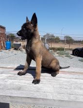 Excellent Belgian Malinois puppies Available for new home
