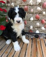 Lovely Bernedoodle puppies for free.