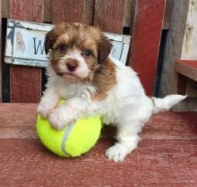 Priceless White Havanese Puppy For Adoption