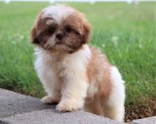 Shih Tzu Puppies for Re-homing Image eClassifieds4U