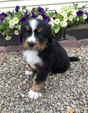 Akc registered Bernese Mountain puppies Image eClassifieds4U