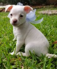 Two Chihuahua Puppies For Re-homing Image eClassifieds4u 1