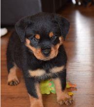 11 weeks old Rottweiler Puppies for Adoption