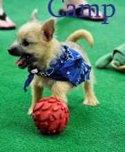 Amazing Cairn Terrier puppies!