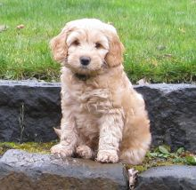 Australian Labradoodle Puppy for Re-homing