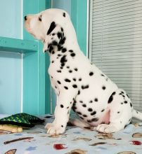 Beautiful A KC registered Dalmatian puppies