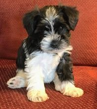 CUTE AND LOVELY MINIATURE SCHNAUZER PUPPIES FOR GOOD AND LOVELY FAMILIES