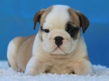 Home Trained English Bulldog Puppies Available