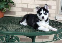 Siberian Husky Puppies Call or Text : 470-729-0284