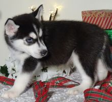Adorable Blue Eyed Siberian Husky Puppies For free