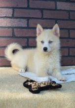 Akc registered Pomsky puppies