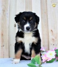 Blue-Eyed,Black and white Australian shepherd! puppies FREE!!Send us a message