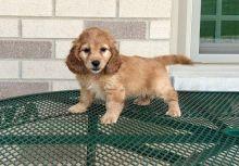 Gorgeous apoo Puppies!