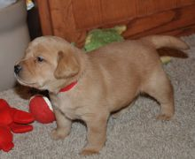 Home Trained Labrador Retriever Puppies
