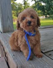 Rescue & Adoption: Adopt a Poodle
