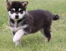 1 male and 2 female Alaskan Klee Kai puppies