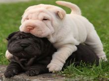 5 Chinese Shar Pei puppies available