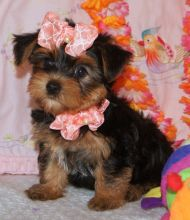 Angelic Teacup Yorkie Puppies
