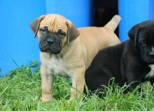 Boerboel puppies EMAIL [ marcbradly1975@gmail com ]