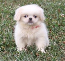 chinese Imperial puppies