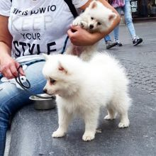 Home Raised Japanese Spitz Puppies Available For Caring Homes