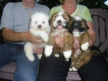Lhasa Apso Puppies available