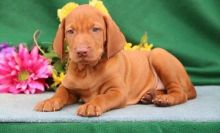 Male and female Vizsla puppies available