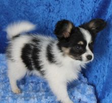 Papillon puppies available ✔ ✔ ✔ Email at ⇛⇛ ( marcbradly1975@gmail.com )