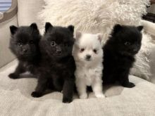 Pomeranian Puppies Available For New Homes