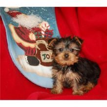 Pure-Bred Yorkie Puppies