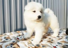Sweet and adorable Samoyed puppies ready for a loving home
