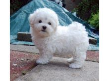 Bolognese puppies available Image eClassifieds4U