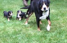 Greater Swiss Mountain Dog puppies Image eClassifieds4U