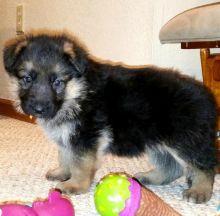 Quality German Shepherd puppies Image eClassifieds4U