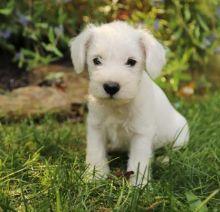 ♥‿♥ ✿Adorable Miniature Schnauzer Puppies [___]Email at ✔ ✔ [ damarek28@gmail.com ]]