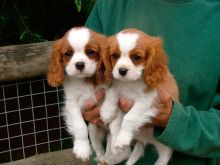 ♥‿♥ ✿ Cavalier King Charles Spaniel Puppies ✿Email at ✔ ✔ [ peterbrooke200@gmail.com]