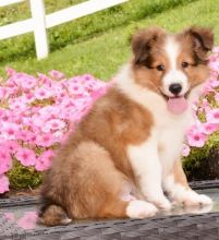 ♥‿♥ ✿Stunning Akc Sheltie Puppies ✿Email at ✔ ✔ [ peterbrooke200@gmail.com]]