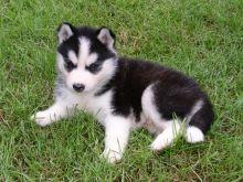 Cute Siberian husky puppy for adoption Text (708) 928-5512 Image eClassifieds4u 1