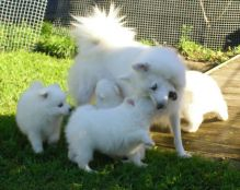 Purebred Japanese Spitz Puppies Available Image eClassifieds4U