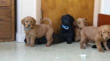 Refined Labradoodle Puppies available Image eClassifieds4U
