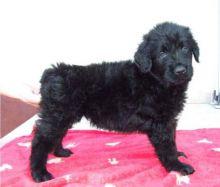 : Black Russian Terrier Puppies