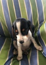 ♥‿♥ ✿ Chinese Crested Puppies [___] Email at ✔ ✔ [ peterbrooke200@gmail.com]