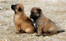 ♥‿♥ Ckc ✿ Belgian Shepherd ✿ Puppies Email at ✔ ✔ [peterbrooke200@gmail.com]