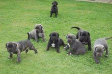 Cane Corso Italiano Puppies for sale